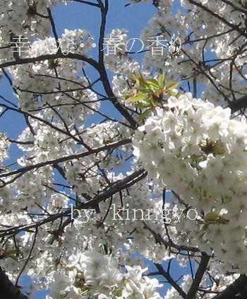 sIMG_5662sakura.jpg